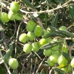 Żebbuġ